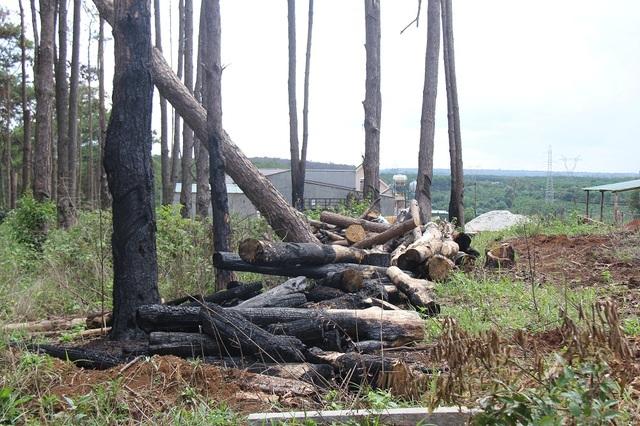 Những vạt thông lớn do Công ty Nguyên Vũ bị đầu độc, đốn hạ để chiếm đất