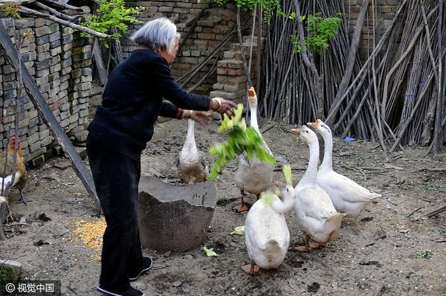 Mẹ ông Qi Laolao cho ngỗng ăn cuộng rau nhặt ngoài chợ.