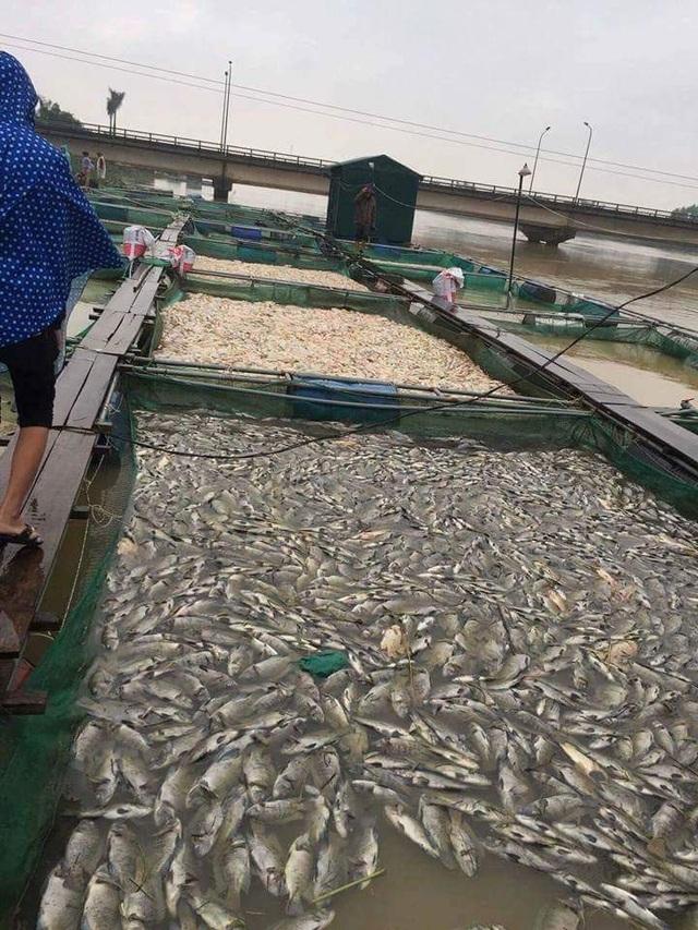 Nguyên nhân xác định do áp lực nước lũ quá mạnh dồn các ô nuôi cá làm bằng lưới lại