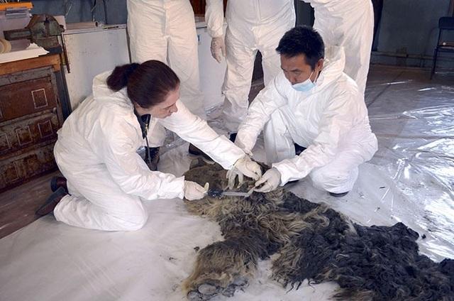 Xác tê giác chôn vùi 34000 năm dưới lớp băng tuyết còn nguyên lông và sừng - 2