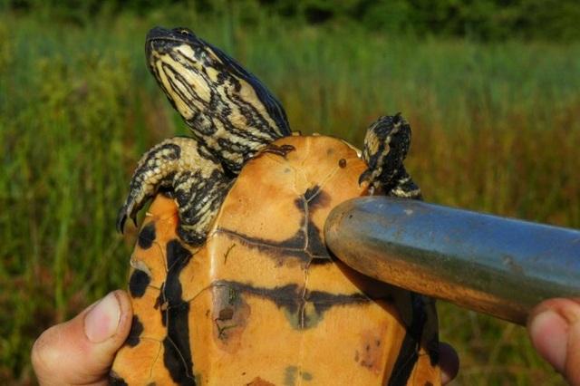 Đồ chơi tình dục hỗ trợ rùa khỏi.. tuyệt chủng - 1