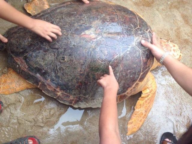 Cá thể rùa biển dính lưới ngư dân Quảng Trị
