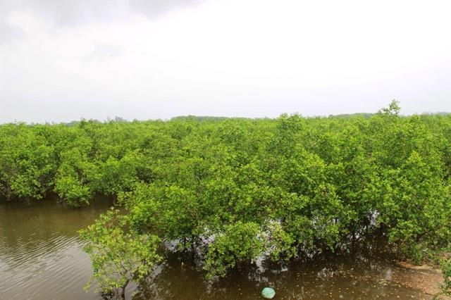 Những năm gần đây, cây bần chua được trồng dọc các tuyến đê biển