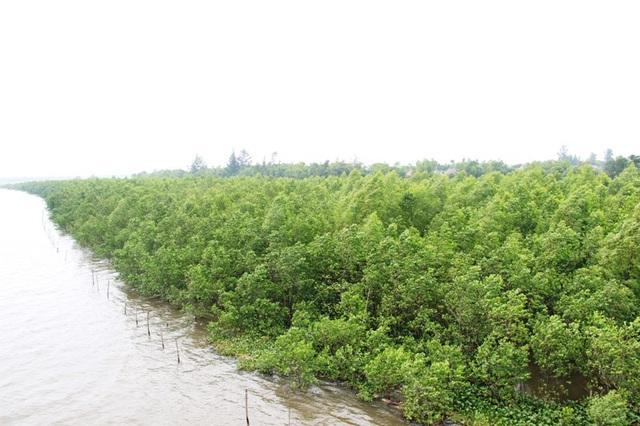 Rừng bần chua phát triển xanh tốt, tạo thành vành đai chắn sóng, bảo vệ hệ thống thủy lợi