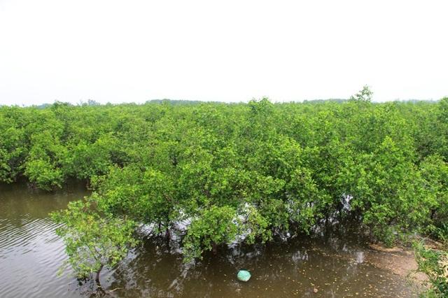 Cây bần chua còn có tác dụng hạn chế xâm nhập mặn, ngăn sóng biển và triều cường