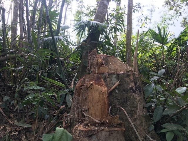 Chủ rừng cho chặt gỗ để... phát triển cây vầu