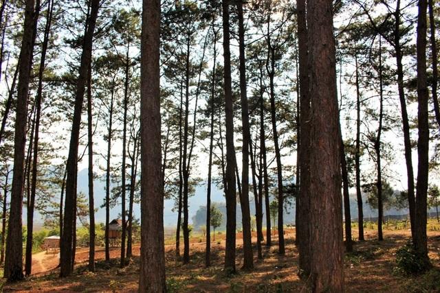 Ngắm vẻ thơ mộng của rừng thông Bản Áng - 10