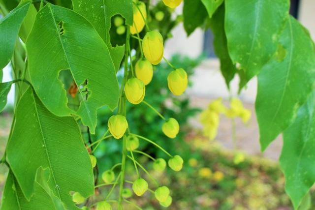 Ngẩn ngơ ngắm hoa muồng hoàng yến nở vàng rực giữa trời Hà Nội - 11