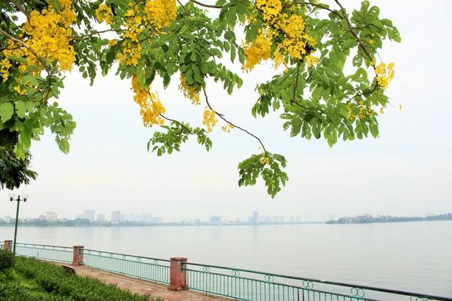 Ngẩn ngơ ngắm hoa muồng hoàng yến nở vàng rực giữa trời Hà Nội - 2