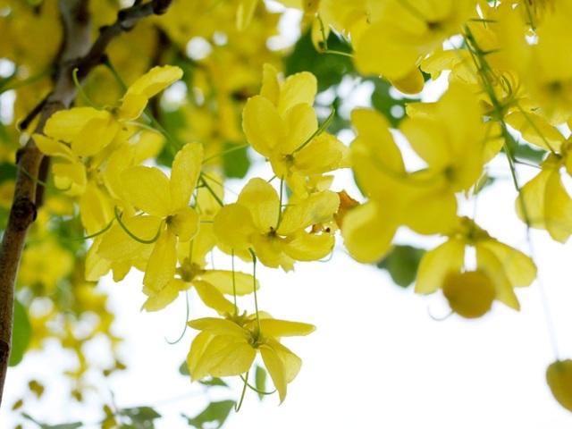 Ngẩn ngơ ngắm hoa muồng hoàng yến nở vàng rực giữa trời Hà Nội - 3