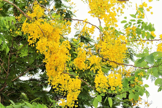 Ngẩn ngơ ngắm hoa muồng hoàng yến nở vàng rực giữa trời Hà Nội - 4