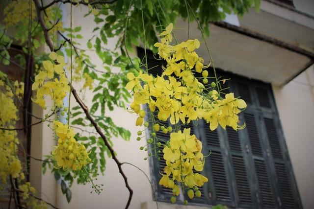 Ngẩn ngơ ngắm hoa muồng hoàng yến nở vàng rực giữa trời Hà Nội - 8
