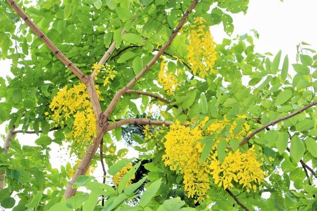 Ngẩn ngơ ngắm hoa muồng hoàng yến nở vàng rực giữa trời Hà Nội - 9