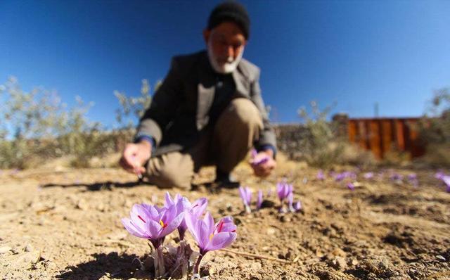 Hoa nghệ tây được trồng, thu hoạch ở Iran và trồng ở biên giới Iran và Afganistan mới mang đậm vị Trung Đông