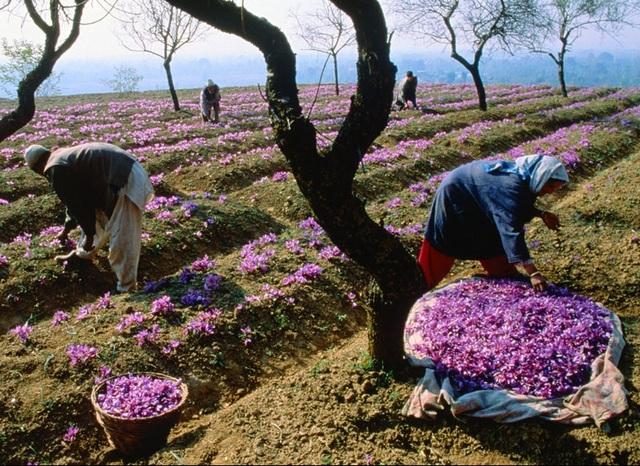 Thu hoạch hoa nghệ tây thủ công