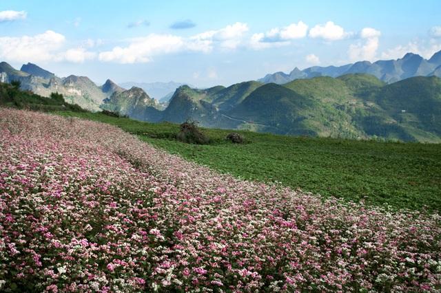 Cánh đồng hoa tam giác mạch ở Hà Giang hấp dẫn những người yêu du lịch