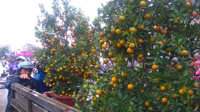 Những cây quất đẹp mắt, sai quả được bán với giá gần 1,5 triệu đồng