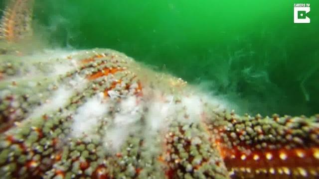 Cặp sao biển giao phối dưới đáy biển