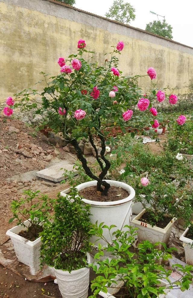 Một cây hồng cổ Sapa bonsai có giá trị đắt đỏ được đánh giá là hiếm có tại vườn ông Đào Mạnh Hùng.