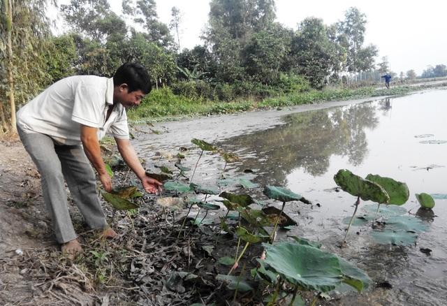 Toàn bộ diện tích 4,5ha sen mà ông Đinh Văn Út trồng cho ông Hòa, nay chỉ còn lác đác vài bụi sen.