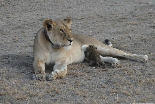 Một con báo hoa mai đang bú sữa sư tử ở Khu bảo tồn Ngorongoro, Tanzania.