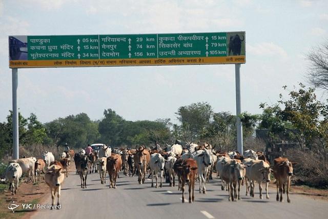 Trong khi đó, trên một tuyến đường ở thành phố Chhattisgarh, Ấn Độ, lại tắc nghẽn vì … những con bò.