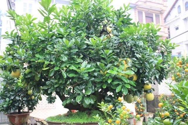 Cây bưởi Diễn bon sai cổ thụ có tuổi đời khoảng 30 năm được đặt trong chậu cây cảnh nhưng vẫn ra trái tự nhiên trĩu trịt, tỏa hương thơm dịu. Chủ nhân của cây bưởi độc đáo này là chị Thư (Tứ Liên - Tây Hồ - Hà Nội). Chị Thư cho biết, đây là giống bưởi Diễn chính gốc nên vô cùng quý hiếm.