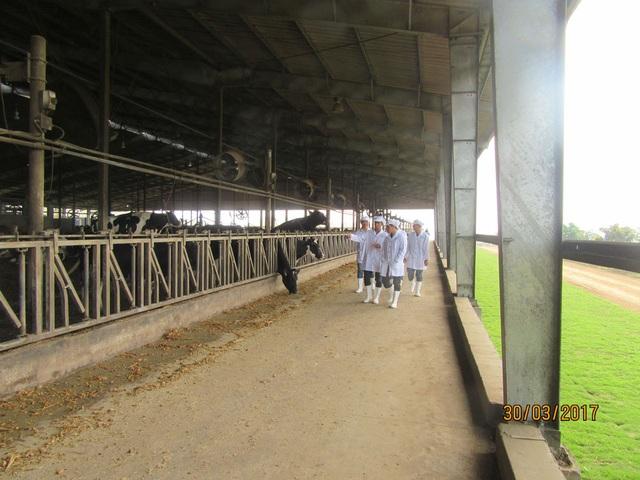 Doanh nghiệp đầu tiên chuyển đổi thành công 1000 bò sữa Organic trên đồng đất VN - 2