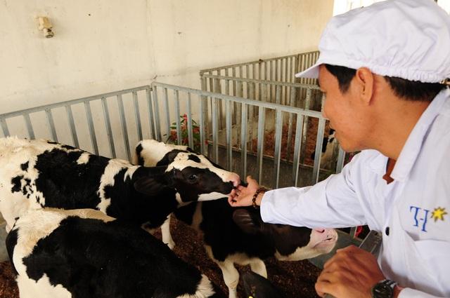 Chuyên gia của trang trại TH đến chuồng trại để thăm nom và kiểm tra tình hình sức khỏe của những chú bê Organic.