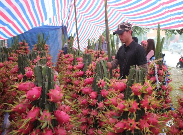 Lần đầu tiên chậu thanh long chín đỏ rực góp mặt vào thị trường cây cảnh và hoa Tết ở TP Vinh.