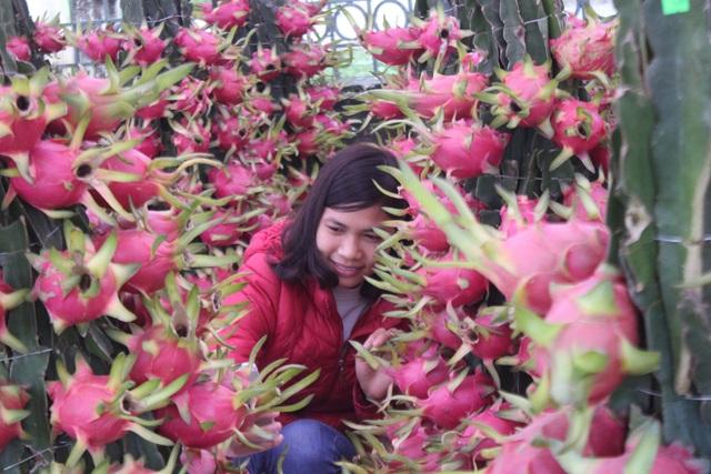 Một thiếu nữ tranh thủ tạo dáng với vườn thanh long đỏ rực trong tiết lạnh những ngày giáp Tết.