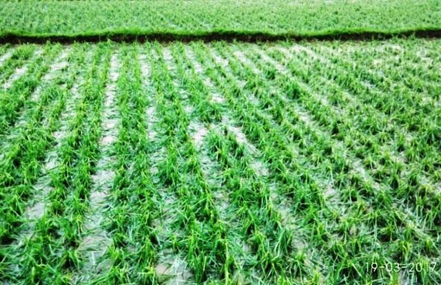 Hàng trăm ha lúa, hoa màu bị thiệt hại