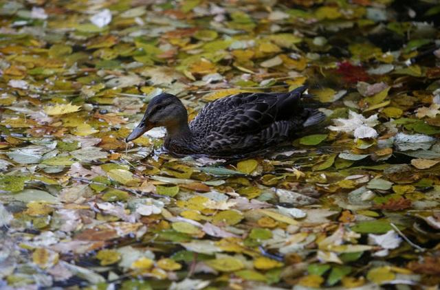 Một con vịt đang bơi lội khi khoảng ao đã bị che phủ gần kín bằng thảm lá rơi. Ảnh chụp vào ngày đầu tháng 10 tại khu vườn Neskuchny ở Moscow, Nga.