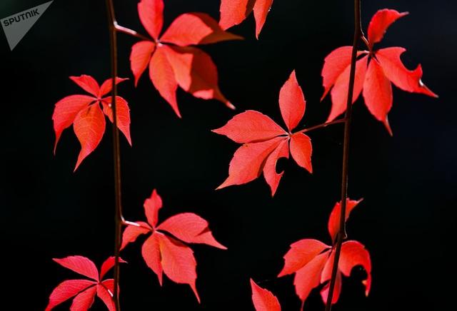 Màu lá đỏ tự nhiên được một nhiếp ảnh gia ghi lại trong những ngày đầu tháng 10 tại một khu vườn ở Petersdorf thuộc miền đông bắc nước Đức.