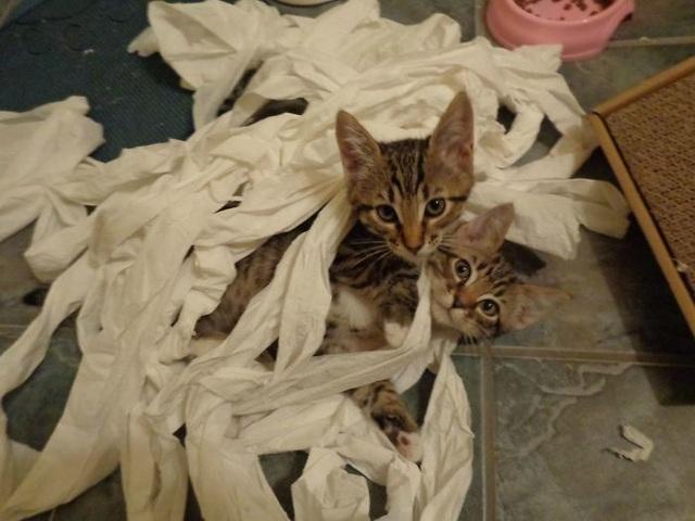 Cuối cùng thì bọn mèo cũng tìm ra cách dùng giấy cuộn