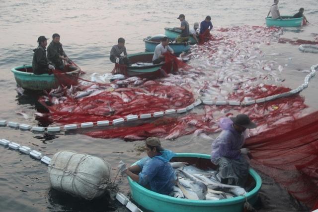 Do lượng cá quá lớn nằm gọn trong vàng lưới nên phần lớn bị nổi lên mặt nước