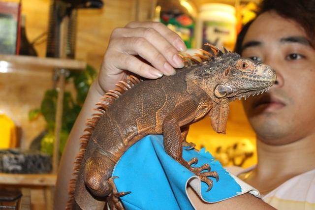 Trong tất cả các loài bò sát, rồng Nam Mỹ (hay còn có tên là Iguana) là thú nuôi được người Việt ưa chuộng nhiều nhất. Chúng có thân hình dẹt, gai rồng nằm dọc sống lưng kéo dài đến tận đuôi. Trái với hình dáng bên ngoài trông khá hung hãn, loài bò sát này này rất hiền và vô cùng dễ nuôi.