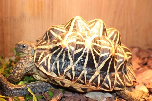 Rùa sao Ấn Độ (Geochelone elegans) là loài rùa xuất xứ từ những vùng khô cằn và rừng cây bụi ở Ấn Độ và Sri Lanka. Tên gọi của chúng xuất phát từ những hoa văn màu vàng tươi tỏa ra như ngôi sao giữa tấm mai đen bóng. Với cơ thể cân đối, màu sắc ấn tượng và hoa văn đẹp, chúng được đánh giá là một trong top 3 loài rùa đẹp hàng đầu thế giới. Kích thước lớn nhất chúng có thể đạt được chỉ tầm 25cm, vậy nên được nhiều người chọn làm vật nuôi. Giá của loài rùa này tùy vào thời điểm và kích cỡ, đến lúc lớn có thể lên đến 20-30 triệu.