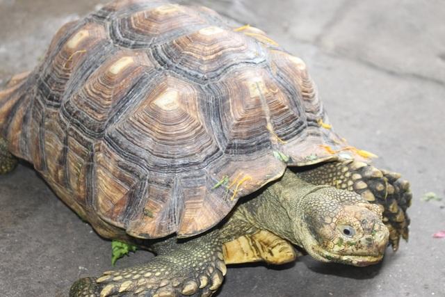 Rùa Sulcata lớn thứ 3 thế giới, có kích thước lớn nhất tầm 80 cm. Nuôi rùa không hề vất vả bởi chúng chỉ ăn rau, củ, quả và cần đảm bảo cho chúng một môi trường đầy đủ ánh sáng. Vào mùa hè, nên đem rùa ra phơi nắng ít nhất 30 phút cho chúng thật cứng cáp.