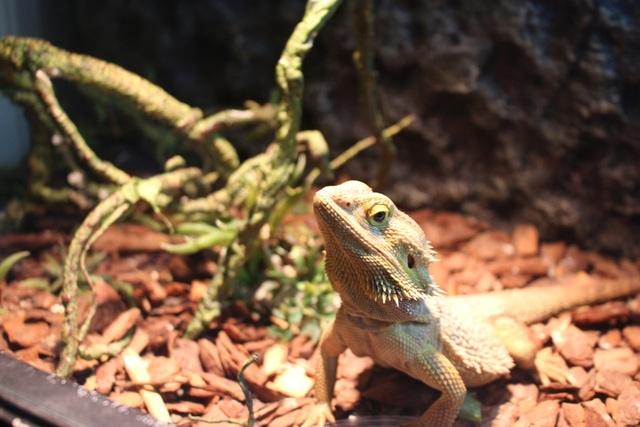 Rồng Úc (Bearded Dragon) sống ở hoang mạc nên cần môi trường nóng và ẩm. Theo tiết lộ của người nuôi, loài rồng Úc khá… ngố nên ngay cả trẻ con cũng có thể chơi được.