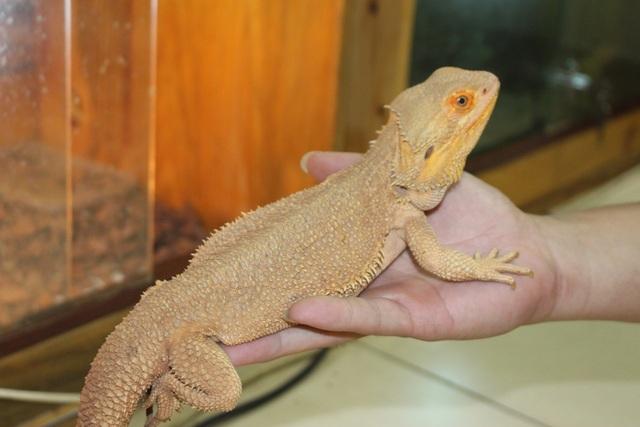 Bearded Dragon rất linh động, ăn tạp và ăn nhiều. Vì vậy, người nuôi cần bổ sung dinh dưỡng kịp thời cho sự phát triển mạnh mẽ của chúng. Trong vòng vài tháng đầu đời, một con rồng Úc có thể phát triển cơ thể gấp 3-4 lần. Giá một chú rồng kích cỡ nhỏ dao động trong khoảng 900.000 đồng