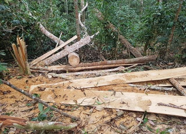 Nhiều cây đã được xẻ và vận chuyển ra khỏi rừng