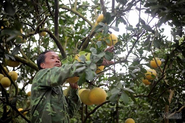 Ông Lê Văn Phú chăm sóc vườn bưởi Diễn của gia đình