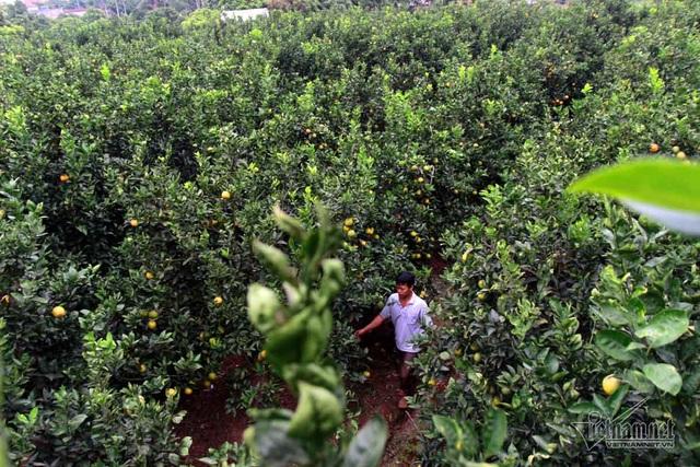 Hàng trăm hộ dân ở xã Đồng Thanh chuyển đổi mô hình trồng cây có múi