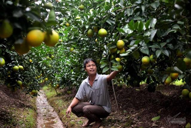 Anh Đào Văn Vượng bên vườn cam Vinh sắp đến vụ thu hoạch