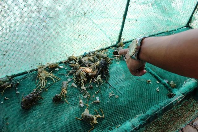 Mỗi lồng tôm như thế này người dân nuôi từ 200 - 250 tôm hùm nhưng giờ chỉ còn 2 - 3 con sống
