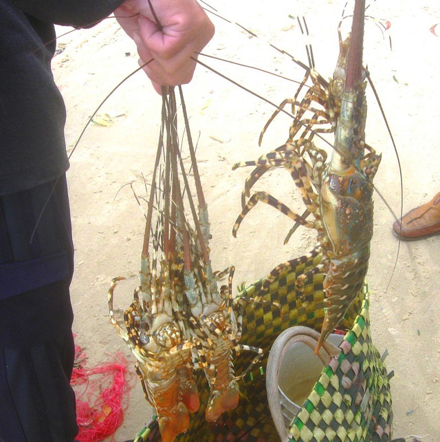Người nuôi tôm hùm ở thị xã Sông Cầu (Phú Yên) thấp thỏm lo lắng vì tôm hùm chết rải rác vì bệnh sữa