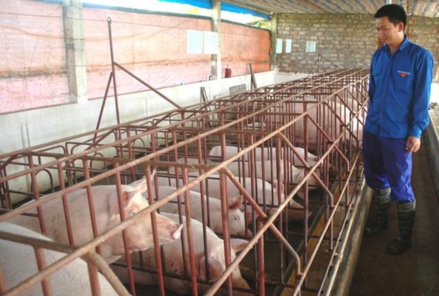Trang trại chăn nuôi lợn thương phẩm của gia đình anh Nguyễn Văn Hịu.