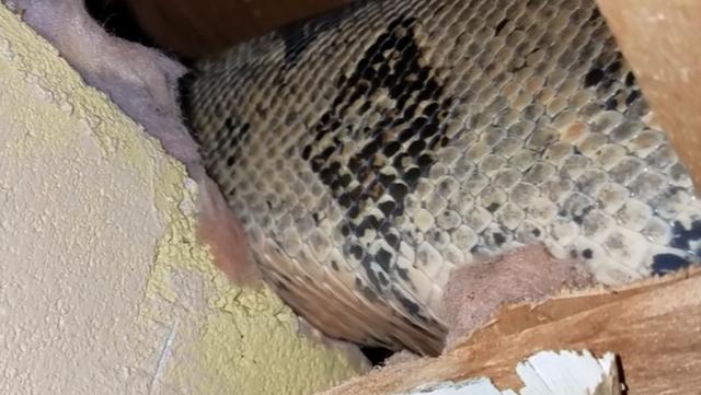 Ngay trên gác mái, một con trăn khổng lồ trú ngụ