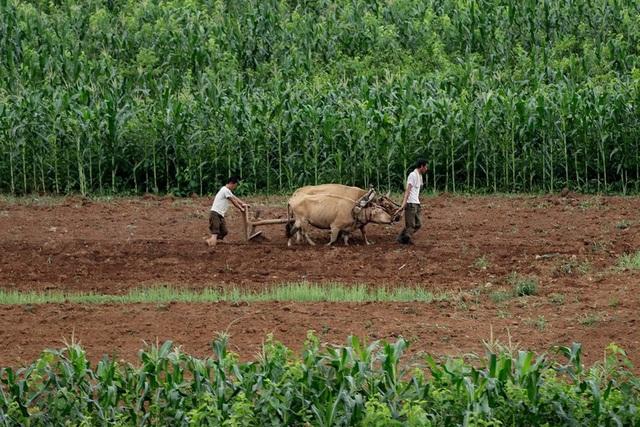 Nông dân làm việc trên cánh đồng ở Sangwon, Triều Tiên (Ảnh: AP)